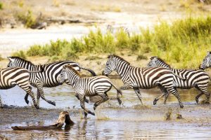 African zebra run in Serengeti Tanzania, Africa. Running together in the water.