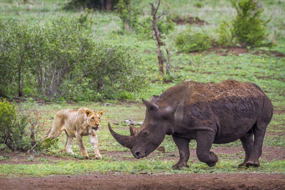 Specie and Ceratotherium simum simum Panthera leo KRUGER PARK SOUTH AFRICA
